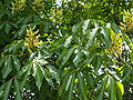Aesculus pavia var. flavescens PICT0312.JPG