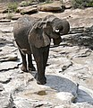 African Elephant (Loxodonta africana) collared female drinking from rainwater puddle ... (32187967231).jpg