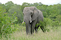 "African Elephant (Loxodonta africana) young male in ""Musth"" (16508074497).jpg"