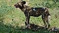 African Wild Dog (Lycaon pictus) (6017907808).jpg