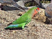 Green parrot with pink face and blue tail tips