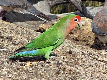 Peach-faced Lovebird in Namibia, Africa. Agapo...