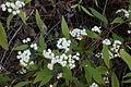 Ageratina riparia heads8 (15057674187).jpg