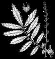 Agrimonia parviflora drawing.png