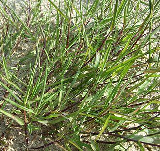 Agrostis stolonifera - Image: Agrostis Wuchs