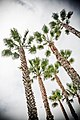 Airplane in the Palm Trees, Santa Monica (3677530357).jpg