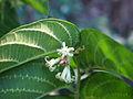 Alangium villosum foliage and flowers.jpg