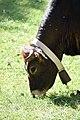 Albères - Vache 03.jpg
