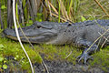 Aligator at Lake Woodruff National Wildlife Refuge - Andrea Westmoreland.jpg