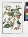 Alkekengi officinarum - Solanum vesicarium - Alchechengio volgare - Coqueret. (Bladder cherry) (NYPL b14444147-1125093).tiff