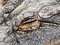 Alligator mississippiensis - Oasis Park - 09.jpg