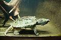 Alligator snapping turtle1.jpg