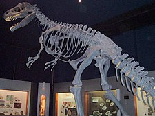 An Allosaurus skeleton. All non-avian dinosaur species died in a mass extinction.