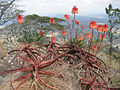 Aloe cameronii (5400826820).jpg