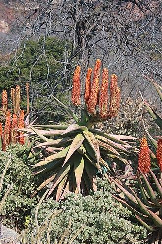 Aloe ferox - Large bitter aloe in flower.