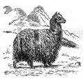 Alpaka.jpg