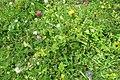 Alpine flora (Gru) (37168043984).jpg
