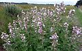Althaea officinalis . Marsh Mallow - Flickr - gailhampshire.jpg