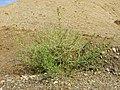 Amaranthus albus sl34.jpg
