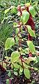 Amaranthus caudatus Prague 2017 1.jpg
