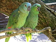 Amazon parrots x2 Bird Land Leicestershire-4