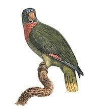 Amazona arausiaca - Barraband