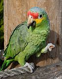 Amazona autumnalis -The Parrot Zoo, Friskney, Lincolnshire, England-8a-2c.jpg