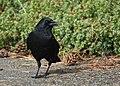 American Crow (43804459990).jpg