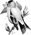 American Goldfinch-Birdcraft-0219-28.png