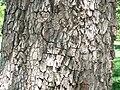 American Persimmon (Diospyros virginiana).jpg