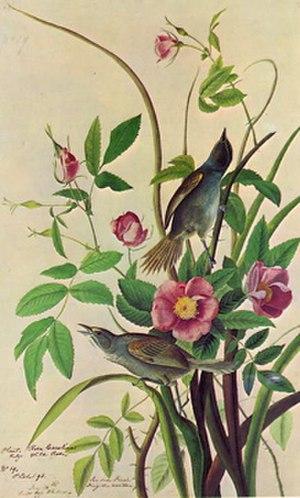 Dusky seaside sparrow - Illustration by John James Audubon
