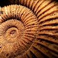 Ammonite - Flickr - Stiller Beobachter.jpg