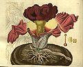 Amorphophallus paeoniifolius (as Arum campanulatum) - Curtis' 55 (N.S. 2) pl. 2812 (1828).jpg