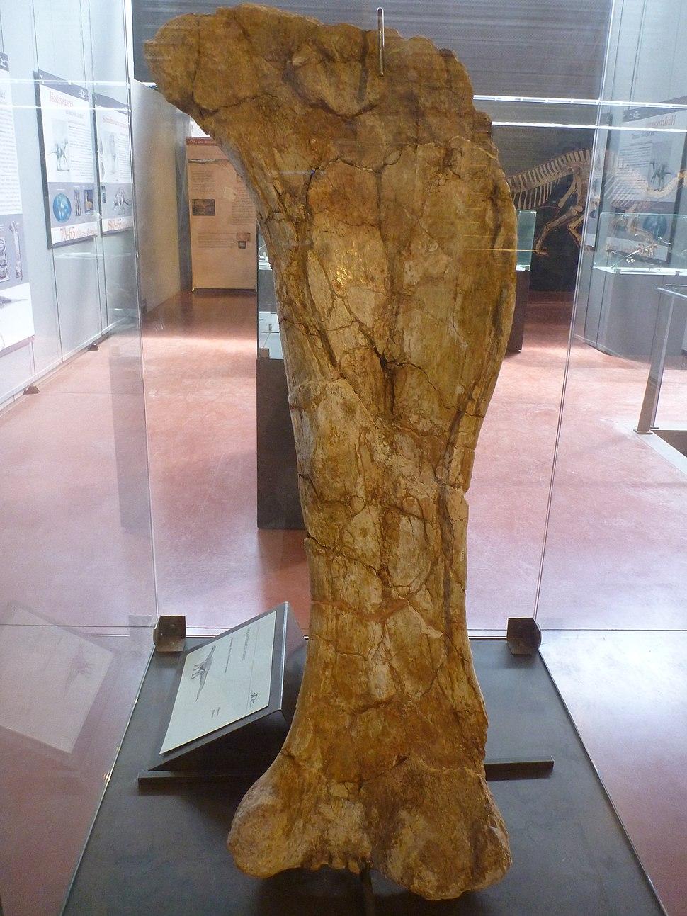 Ampelosaurus femur