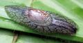 Amphibulima pardalina 2.png