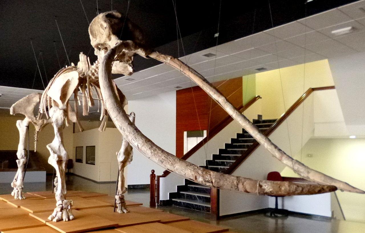 1280px-Anancus_arvernensis_-_Las_Higueruelas%2C_Ciudad_Real%2C_Spain_-_Museo_Ciudad_Real.JPG