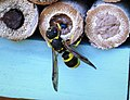 Ancistrocerus Wasp sparring with Jewel Wasp inside cell - Flickr - gailhampshire.jpg