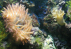 Seeanemone (Actiniaria) und Lederkoralle (Alcyonacea)