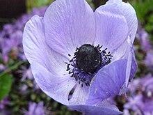 Anemone coronaria, England.jpg