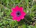 Anemone pavonina (32907660814).jpg