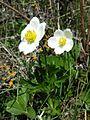 Anemone sylvestris sl5.jpg