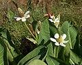 Anemopsis californica.jpg