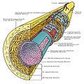 Angiogenesis 1.jpg