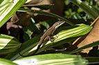 Anolis carolinensis brown.jpg