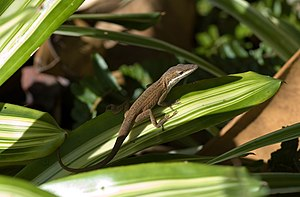 Green anole (Anolis carolinensis) in brown phase.