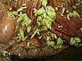 Anoplocephala perfoliata fig2.jpg