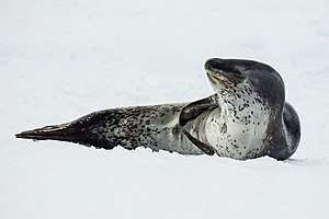 Leopard seal - Image: Antarctic Sound 2016 Brown Bluff–Leopard seal (Hydrurga leptonyx) 04