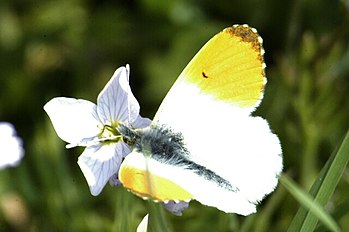 Anthocharis.cardamines.male.jpg