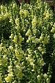 Antirrhinum majus Liberty Yellow 2zz.jpg
