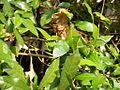 Ants leaf nest DSCN0204.resized.JPG